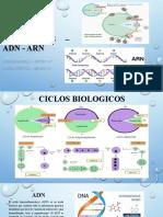 CICLOS BIOLOGICOS – ADN - ARN.pptx