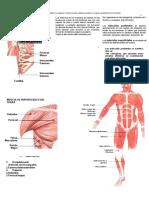 sistema muscular estructura morfologica e imagenes