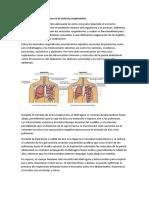 Músculos que intervienen en el sistema respiratorio