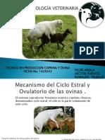 Ciclo estral de ovinos