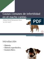 Causas comunes de infertilidad en el macho canino.pptx