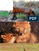 Zorro Culpeo