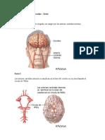 Accidente cerebrovascular Círculo de Willis