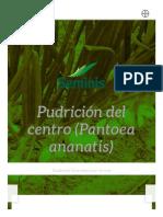 Cebolla Pudrición del Centro (Pantoea Ananatis) _ Seminis México