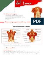 resumen musculos tronco