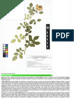 Rosa chinensis J-unirio.pdf