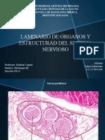 Laminario ll histologia sistema nervioso