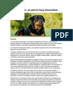 1-El-Rottweiler-un-perro-muy-musculoso