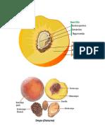 Anatomia de frutos y semillas