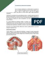 Vascularizacion e Inervacion de Abdomen.pdf