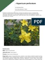GOSPINA TRAVA - KANTARION ( Hypericum perforatum L.)