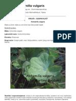 VRKUTA - GOSPIN PLAŠT ( Alchemilla vulgaris)
