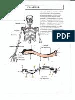 2 Schemas-clavicule-et-scapula.pdf