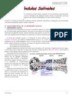 Glándulas Salivales (n°16) (1).pdf