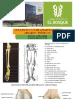 Anatomía miembro inferior