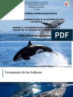 Varamiento de las ballenas