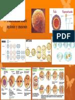 Diferencias entre mitosis y meiosis