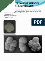 GLOBIGERINA CIPEROENSIS ANGULISUTURALIS.pdf
