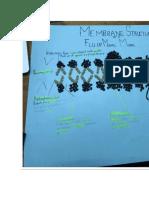 FLUID MOSAIC MODEL OF A MEMBRANE STRUCTURE