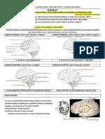 3- Talencefalo, ganglios basales y diencefalo