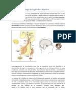 Anatomía y Fisiología de la glándula Hipófisis