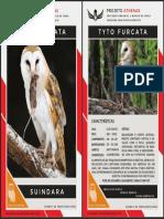 tyto_furcata_card_big