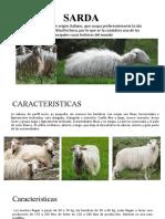 SARDA y awassi-BASCO – BEMAISE-East Friesian -Castellana-Assaf
