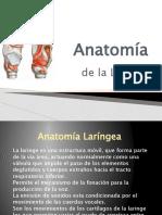 Anatomía laringea