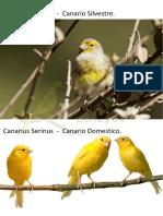 serinus canarius y  canario domestico