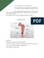 Cuáles son las partes y funciones del sistema musculo esquelético
