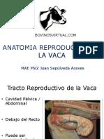 2 Anatomia Reproductiva de La Vaca