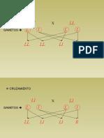 18 Problemas de Genetica Resueltos_parte15