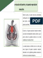 Relación entre los músculos del periné
