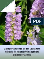 Comportamiento de visitantes florales en Pontederia sagittata (Pontederiaceae)