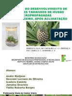 Avaliação do desenvolvimento de diferentes tamanhos de mudas micropropagadas de abacaxizeiro