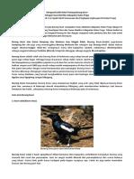 Artikel Mengenal Lebih Dekat Tentang Burung Kacer Flora Fauna Identitas Kulon Progo
