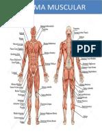 ESTUDO DIRIGIDO - Sistema Muscular