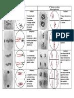 schema-de-synthese-les-differentes-phases-de-la-meiose
