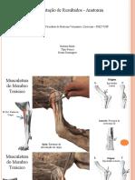 Anatomia pps