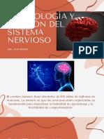 EMBRIOLOGÍA Y DIVISIÓN DEL SISTEMA NERVIOSO (4)