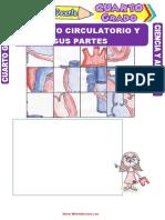Aparato-Circulatorio-y-sus-Partes-para-Cuarto-Grado-de-Primaria