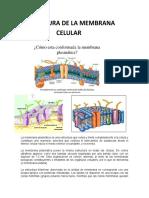 Estructura membrana Celular