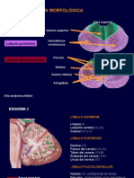 anatoma estructurtal y funcional del cerebelo