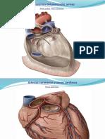 Cardiovascular+y+Linfatico+2