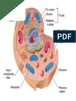 Celula animală