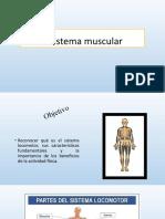 El sistema muscular 4°