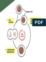 Leo-ciclo celular-novo
