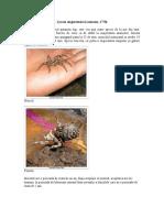 Lycosa singoriensis