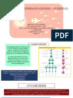 Ovogenesis, Espermatogenesis y Pubertad