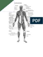 Explicar esquemáticamente los músculos del cuerpo humano